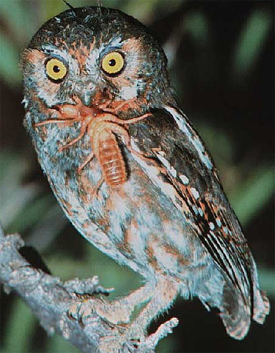 Eating habits michael 39 s amazing owls for Do owls eat fish